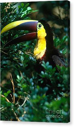 Chestnut-mandibled Toucan Canvas Print by Art Wolfe