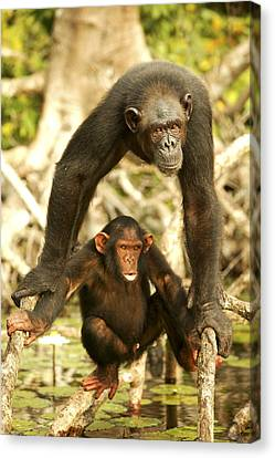 Chimpanzee Adult With Young Canvas Print by Jean-Michel Labat