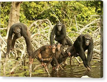 Chimpanzees On Mangroves Canvas Print by Jean-Michel Labat