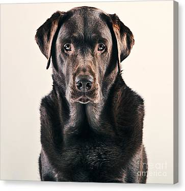 Chocolate Labrador Portrait Canvas Print by Justin Paget