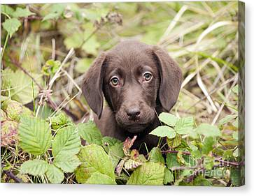 Chocolate Labrador Puppy Canvas Print by John Daniels