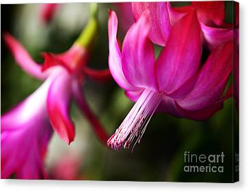 Christmas Cactus In Bloom Canvas Print by Thomas R Fletcher