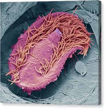 Ciliate Protozoan Canvas Print by Steve Gschmeissner