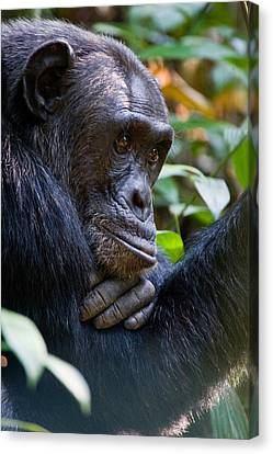 Close-up Of A Chimpanzee Pan Canvas Print by Panoramic Images