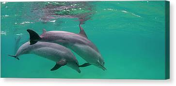 Close-up Of Two Bottle-nosed Dolphins Canvas Print by Panoramic Images