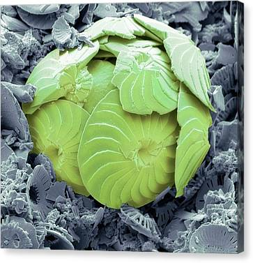 Coccolithophore Shell Canvas Print by Steve Gschmeissner