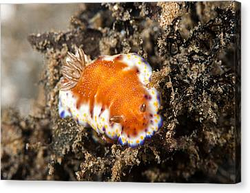 Collingwoods Chromodoris Nudibranch Canvas Print by Andrew J. Martinez