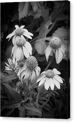 Coneflowers Echinacea Rudbeckia Bw Canvas Print by Rich Franco