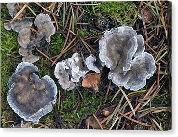 Conifer Blueing Bracket Fungus Canvas Print by Nigel Downer