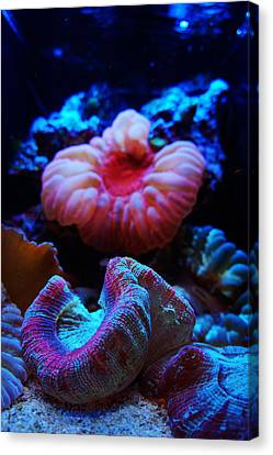 Coral Reef Creatures Canvas Print by Celestial Images