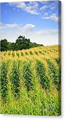 Corn Field Canvas Print by Elena Elisseeva