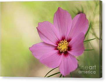 Cosmos... Canvas Print by LHJB Photography