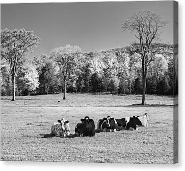 Cows Resting On Grass In Farm Field Autumn Maine Photograph Canvas Print by Keith Webber Jr