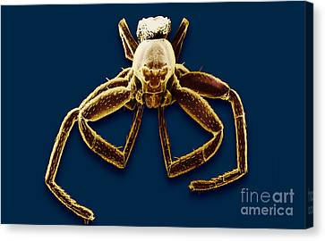 Crab Spider Canvas Print by David M. Phillips