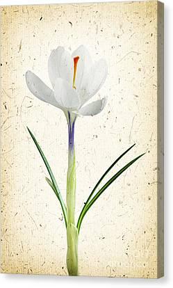 Crocus Flower Canvas Print by Elena Elisseeva
