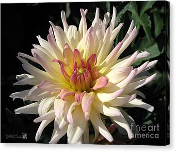 Dahlia Named Camano Ariel Canvas Print by J McCombie