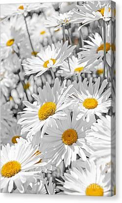 Daisies In Garden Canvas Print by Elena Elisseeva