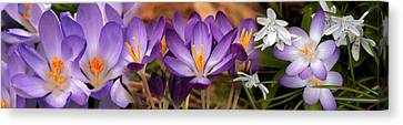 Details Of Early Spring And Crocus Canvas Print by Panoramic Images