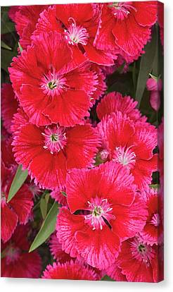 Dianthus 'summer Splash' Flowers Canvas Print by Ann Pickford