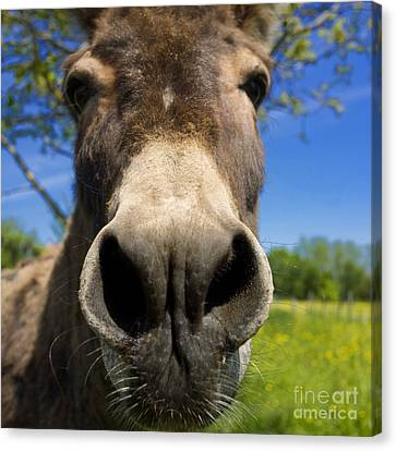 Donkey Canvas Print by Bernard Jaubert