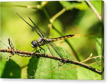 Dragonfly Canvas Print by Steven  Taylor