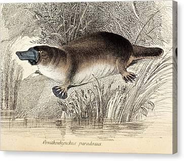 Duck-billed Platypus Canvas Print by Paul D Stewart