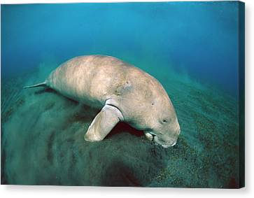 Dugong  Feeding On Sea Grass Canvas Print by Mike Parry