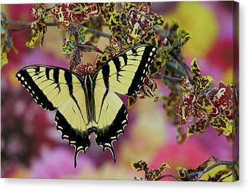 Eastern Tiger Swallowtail Papilio Canvas Print by Darrell Gulin