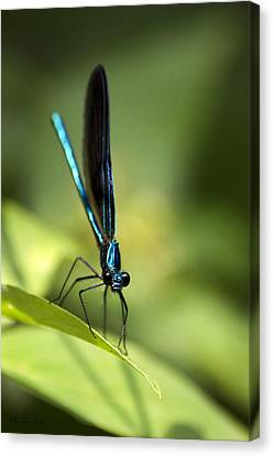 Ebony Jewelwing Damselfly Canvas Print by Christina Rollo