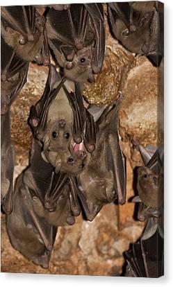 Egyptian Fruit Bat Rousettus Aegyptiacus Canvas Print by Photostock-israel