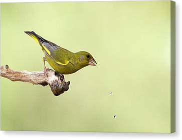 European Greenfinch Carduelis Chloris Canvas Print by Photostock-israel