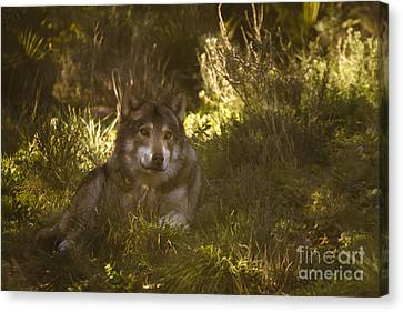 European Wolf Canvas Print by Angel  Tarantella
