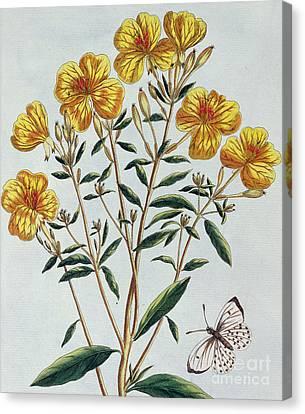 Evening Primrose Canvas Print by Pierre Joseph Buchoz