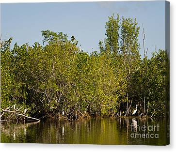 Everglades  Egrets Canvas Print by Tracy Knauer