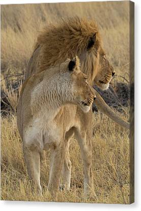 Female And A Male Lions Panthera Leo Canvas Print by Panoramic Images