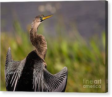 Female Anhinga Canvas Print by Tracy Knauer