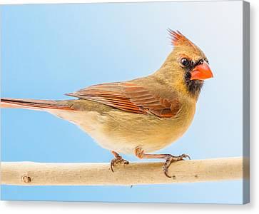 Female Cardinal  Canvas Print by Jim Hughes