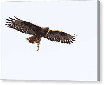 Female Red-tailed Hawk In Flight Canvas Print by Carl Jackson