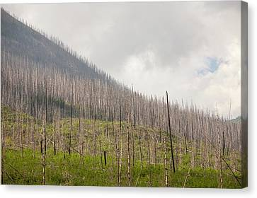Forest Burnt By Mount Shanks Wild Fire Canvas Print by Ashley Cooper