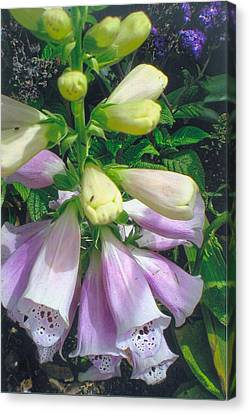 Foxglove In Sunlight-2 Canvas Print by Robert Bray