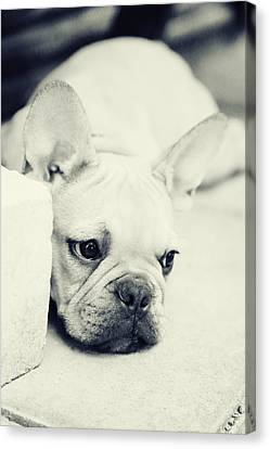 French Bulldog Canvas Print by Falko Follert