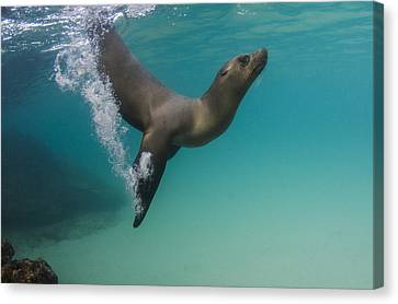 Galapagos Sea Lion Swimming Ecuador Canvas Print by Pete Oxford