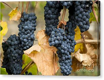 Gamay Noir Grapes Canvas Print by Kevin Miller