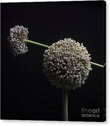 Garlic Flowers. Allium. Canvas Print by Bernard Jaubert