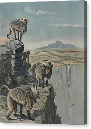 Gelada Baboon Canvas Print by Louis Agassiz Fuertes