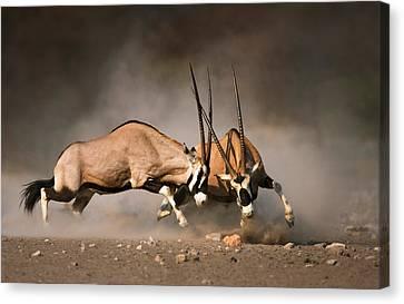 Gemsbok Fight Canvas Print by Johan Swanepoel