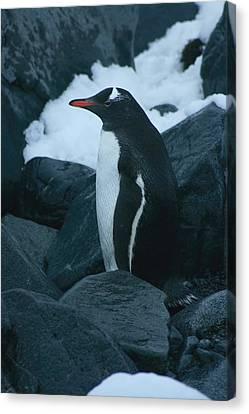 Gentoo Penguin Canvas Print by Amanda Stadther