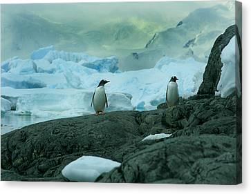 Gentoo Penguins Canvas Print by Amanda Stadther