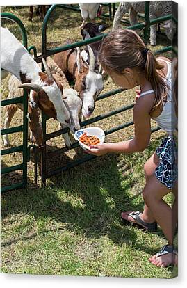 Girl Feeding Goats Canvas Print by Jim West