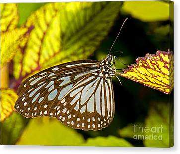 Glassy Blue Tiger Butterfly Canvas Print by Millard H. Sharp